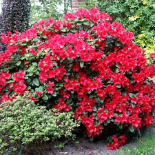 3 RHODODENDRON 'SCARLET WONDER' EVERGREEN BUSHY SHRUB HARDY GARDEN PLANT IN POT