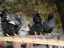 Silver Laced Wyandotte Hatching Eggs (6 Eggs)