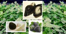 Die Black Erdbeeren Samen✿ exotische Pflanzen für das Frühjahr den Garten Balkon