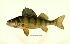 Rare 1897 Antique Denton Fish Print ~ The Yellow Perch ~ Excellent Details!