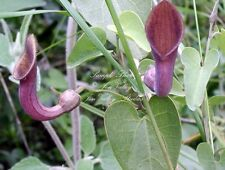 Aristolochia tagala 15 Seeds Dutchmans Pipe Aromatic Flowers Attracts Butterfly