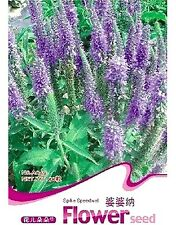 Spike Speedwell Flower Seed Veronica Spicata Hot ~1 Pack 50 Seeds~ Rare