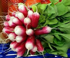 ☺1000 graines de radis french breakfast bio récolte 2016