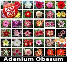 Adenium Obesum Desert Rose Mixed Varieties 25 Seeds Minimum Garden Flower.