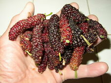 "8 Pakistan Mulberry TREE Plant Cutting Scion 8-10"" Long Red Purple Fruit  6J3"