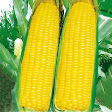 20Pcs Golden Corn Seeds Vegetables Plant Seeds Sweet Delicious Organic Nutrition