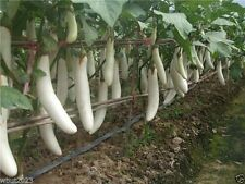 Pure White, Long Eggplant Seeds -100 seeds- Very productive - Organic !