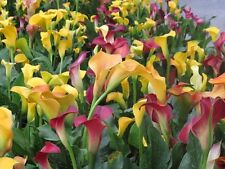 Flower seeds 10 Rare Colorful calla lily rainbow plants Zantedeschia aethiopica