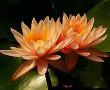 Rare Bonsai Citrine Orange Lotus /Water Lilly Flower:10 seeds,Good Quality seeds
