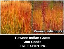"Ornamental  INDIAN Grass ""PAWNEE""  300 Fresh New Seed FREE SHIPPING"