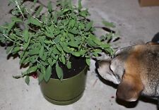 0.2g (approx. 50) sage seeds SALVIA OFFICINALIS spice and medicinal herb