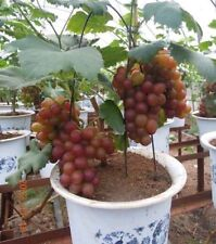 Rare Grapes Bonsai Tree seeds, Heirloom Fruit 12 seeds, Home Bonsai Plant seeds