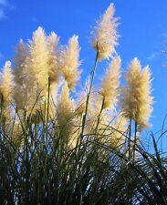 White Pampas Grass - Cortaderia selloana - 250 seeds