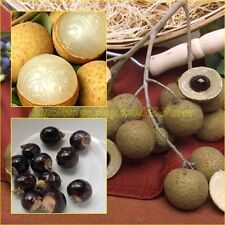 25 Seeds Dimocarpus Longan, Dragon eye tropical Thai fruit Sweet Most Delicious