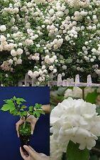 VIBURNUM OPULUS cv ROSEUM var.da fiore Palla di neve Balloon of May Snowball alv