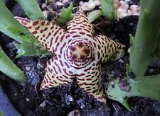 ORBEA SPECIOSA ** VERY RARE**  BEAUTIFUL!!  / CACTUS SUCCULENT