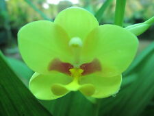 LAND ORCHID HEALTHY HYBRID LIVE PLANT FLOWERING SIZE BUY NOW