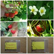 Red Strawberry ''Rampicanti'' ~50 Top Quality Seeds - Extra Sweet - NOT FAKE