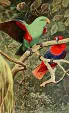 A4 Photo Kuhnert FW 1911 Eclectus Parrot Print Poster