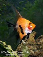 (6) Small Red Koi Angelfish Pterophyllum scalare Freshwater Live Tropical fish