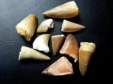 "1/2 "" - 1 1/2 "" Small Mosasaur Tooth Moroccan Fossil Teeth 10 pcs"