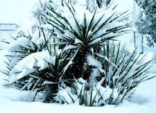 Die Keulenlilie Palme Samen exotische Pflanze für das Frühjahr den Garten Balkon
