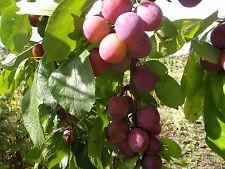 Plum Tree (Prunus Domestica) - Victoria - Dwarf Pixie Stock- 5' Tall Tree