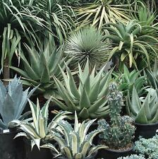 10 Agave mix seeds *Easy grow * Care free * succulent CombSH C34
