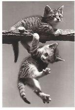 Ansichtskarte, s/w: zwei spielende Katzenkinder - two playing kittens - chatons