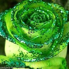 Amazing Golden Green Rose Flower Seeds 10s Pack - Wow!