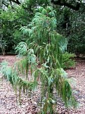25 Weeping Cypress Seeds Rare Himalayan Ornamental Landscape or Bonsai Specimen