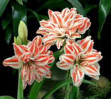 2 pieces/lot Amaryllis Bulbs,Hippeastrum Bulbs,3-5 cm in diameter