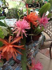 EPIPHYLLUM CACTUS ORCHID (5) FIVE CUTTINGS EACH 6 TO 10 INCH CUTTINGS