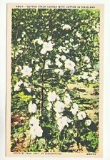 Postcard: Cotton Stalk Loaded with Cotton in Dixieland