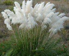 500 PAMPAS  SEEDS WHITE ORNAMENTAL GRASS Seeds Cortaderia selloana White seeds