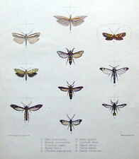 MOTH & BUTTERFLY PRINTS, MINTERN, Adela optima etc hand col. antique print 1878