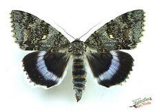 Bleu sous ailes papillon de nuit Catocala fraxini noctuidae ENSEMBLE A1 x1