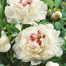 White Peony/paeonia plant 'Festiva Maxima' 3/5 eyes bare root Ship Mar. 2017