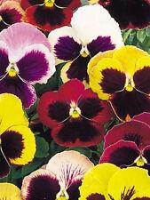 450 Semillas de Pensamiento Super Gigante Suisse Variado / Flor