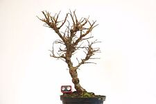 Cork Bark Chinese Elm Bonsai Tree Raw Material Ulmus Parviflora Corticosa 26