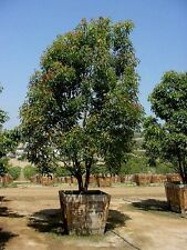 Cinnamonium camphora - Unusual Camphor Tree - 10 Fresh Seeds