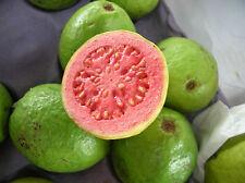 25 Semillas de Guajava - PSIDIUM GUAJAVA - Samen - Semi - Fruta Tropical