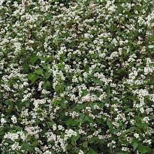 Green Manure Seeds - Buckwheat - 2.5kg