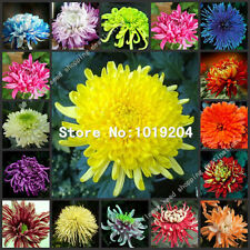 100 PC Mixed Random colorful chrysanthemum seeds,colorful flower seeds