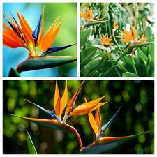 10PCS Strelitzia Reginae Tropical Bird of Paradise Mallowwort Flower Seeds Decor