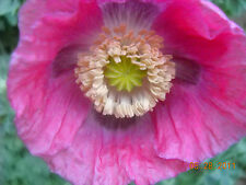 Organic Hot Pink Poppy Papaver Somniferum 500 + Seeds