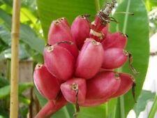BANANA - Musa velutina Pink Fruiting Banana 10 seeds