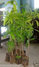 Combo Pack Of Mango Plants 4 Live plants All season, Alphonso, Banganapalli