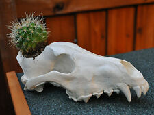 Beautiful Hand Made Arctic Wolf Skull Replica Flower Pot Planter Succulent Plant