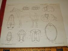 Rare Antique Original VTG Equestrian Anatomy of a Horse Diagram Art Print b
